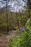 Bluebells by the Path